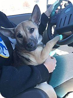 Shepherd (Unknown Type) Mix Dog for adoption in Cliffside Park, New Jersey - George