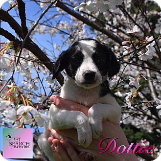 Plott Hound/Treeing Walker Coonhound Mix Puppy for adoption in Washington, Pennsylvania - Dottie