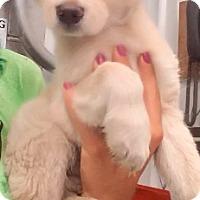 Adopt A Pet :: Cooper - Oswego, IL