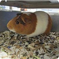 Adopt A Pet :: *Urgent* Whiskers - Fullerton, CA
