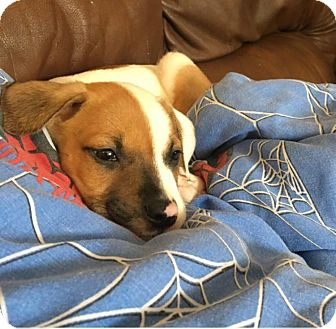 American Bulldog/Mixed Breed (Large) Mix Puppy for adoption in Pensacola, Florida - Won Ton