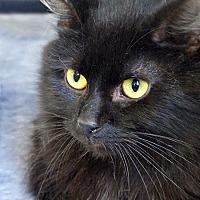 Adopt A Pet :: Bear - Mason, MI
