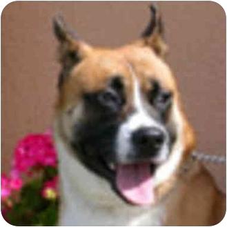Akita Mix Dog for adoption in Berkeley, California - Leo