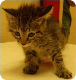 Domestic Mediumhair Kitten for adoption in House Springs, Missouri - DJ