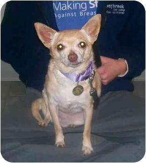 Chihuahua Mix Dog for adoption in Oak Ridge, New Jersey - Nila