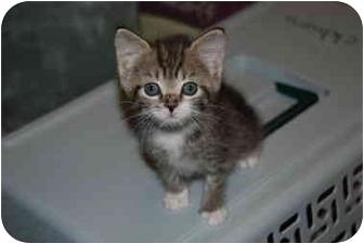 American Bobtail Kitten for adoption in Putnam Hall, Florida - Bubbles