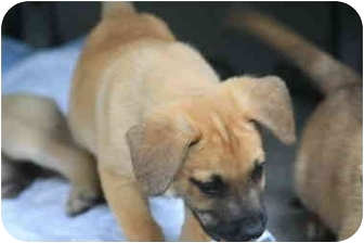 Shepherd (Unknown Type) Mix Puppy for adoption in White Settlement, Texas - Rufus