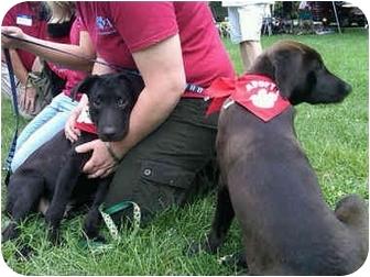 Labrador Retriever Mix Puppy for adoption in Naugatuck, Connecticut - Whammy