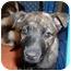 Photo 1 - Boxer/Border Collie Mix Puppy for adoption in No.Charleston, South Carolina - Treasure
