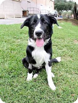 Border Collie/Airedale Terrier Mix Puppy for adoption in Austin, Texas - Surry