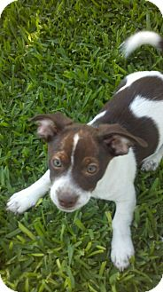 Rat Terrier/Lhasa Apso Mix Puppy for adoption in Bakersfield, California - Brickle