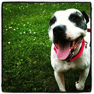 American Staffordshire Terrier/Boxer Mix Dog for adoption in Louisville, Kentucky - Maybelle
