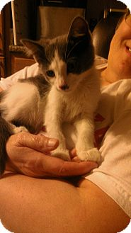 Domestic Shorthair Kitten for adoption in Columbus, Nebraska - Duncan