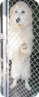 Great Pyrenees Mix Dog for adoption in Clarkesville, Georgia - Falkor