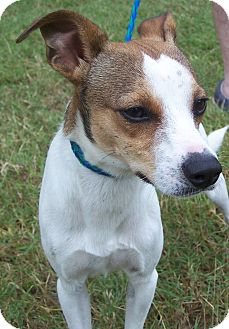 Chihuahua/Jack Russell Terrier Mix Dog for adoption in Odessa, Florida - RILEY