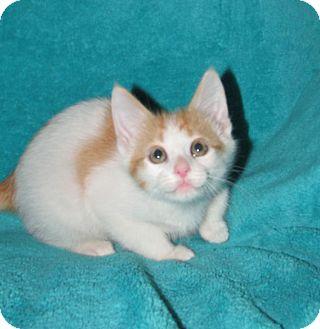 Domestic Shorthair Kitten for adoption in Huntsville, Alabama - Rocket