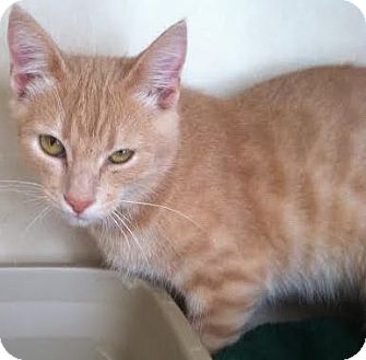 Domestic Shorthair Cat for adoption in Westminster, California - Jax