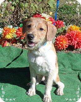 Beagle Mix Puppy for adoption in Marietta, Georgia - SOKU