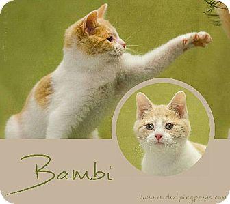 Domestic Shorthair Kitten for adoption in Washburn, Wisconsin - Bambi
