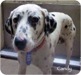 Dalmatian Dog for adoption in Mandeville Canyon, California - Candy