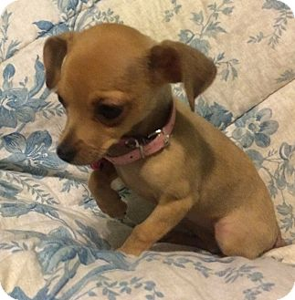 Chihuahua Puppy for adoption in Thousand Oaks, California - Mindy
