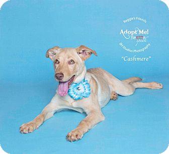 Labrador Retriever/Cattle Dog Mix Dog for adoption in Portland, Oregon - Cashmere