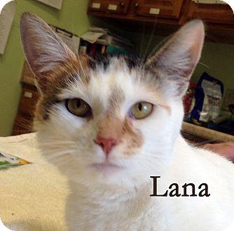 Domestic Shorthair Cat for adoption in Warren, Pennsylvania - Lana