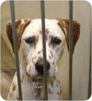 Dalmatian Dog for adoption in Mandeville Canyon, California - Amber