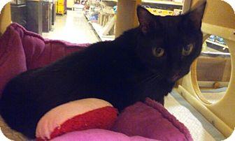 Bombay Cat for adoption in Palm Springs, California - Amrita