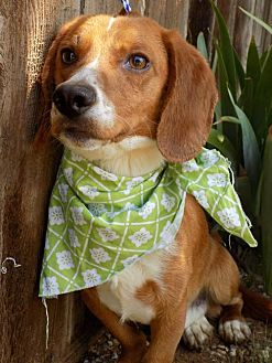 Beagle/Dachshund Mix Dog for adoption in Apple Valley, California - Agent 009 of the Modesto 4