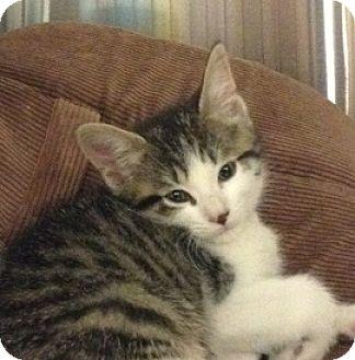 Domestic Shorthair Kitten for adoption in Toronto, Ontario - Abby