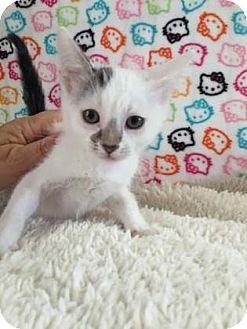Domestic Shorthair Kitten for adoption in Fountain Hills, Arizona - WILLIS