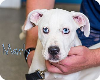 Boxer/Pit Bull Terrier Mix Puppy for adoption in Somerset, Pennsylvania - Marly
