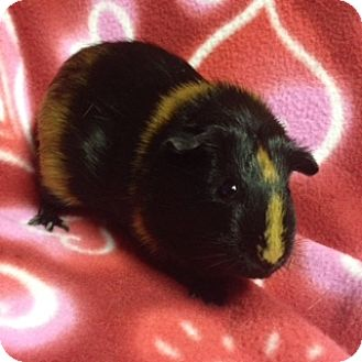 Guinea Pig for adoption in Cheektowaga, New York - Saturn