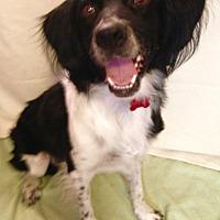 Brittany Dog for adoption in Phoenix, Arizona - Chevy