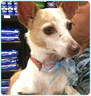 Rat Terrier Mix Dog for adoption in Phoenix, Arizona - Cash