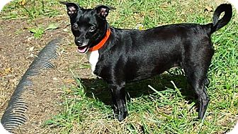 Chihuahua Dog for adoption in Cincinnati, Ohio - Bailey