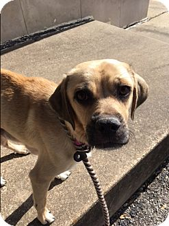 Pug/Beagle Mix Dog for adoption in Dallas, Texas - Italy