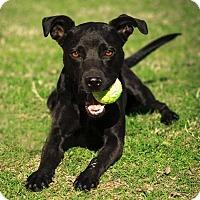 Adopt A Pet :: Star - Phoenix, AZ