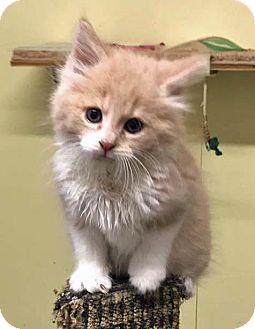 Domestic Mediumhair Kitten for adoption in Troy, Michigan - Star Lord