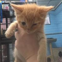Domestic Shorthair/Domestic Shorthair Mix Cat for adoption in Clarkesville, Georgia - Orange