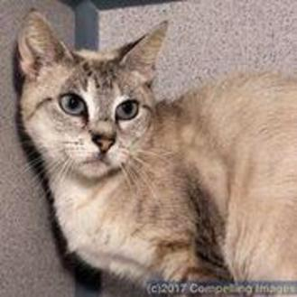 Siamese/Domestic Shorthair Mix Cat for adoption in Fort Collins, Colorado - Cozy
