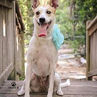 Adopt A Pet :: Stella - Clifton, TX