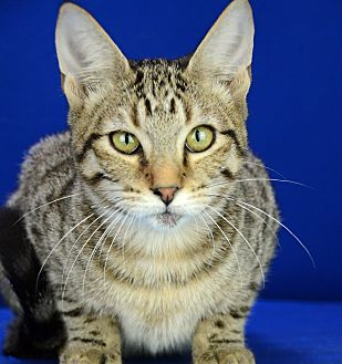 Domestic Shorthair Cat for adoption in LAFAYETTE, Louisiana - KENNY