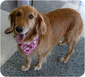 Golden Retriever Mix Dog for adoption in Sacramento, California - Heidi super