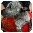 Photo 1 - Australian Cattle Dog/Blue Heeler Mix Puppy for adoption in Arlington, Texas - Chance