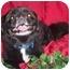 Photo 1 - Pekingese Dog for adoption in Morriston, Florida - GIZMO