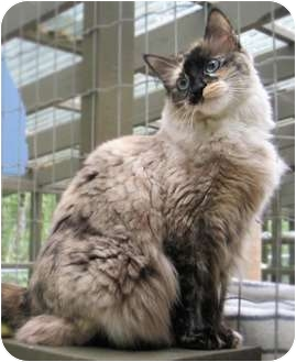 Domestic Mediumhair Cat for adoption in Maple Ridge, British Columbia - Hedy - VIDEOS