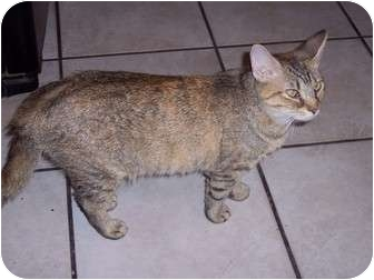 Domestic Shorthair Cat for adoption in Delmont, Pennsylvania - Clementine