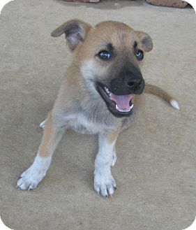 Labrador Retriever/Shepherd (Unknown Type) Mix Puppy for adoption in Arlington, Texas - Nelly